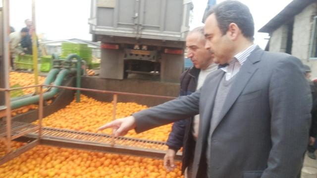 خرید 650 تن پرتقال تامسون از باغداران رودسر/تأمین نیاز میوه شب عید