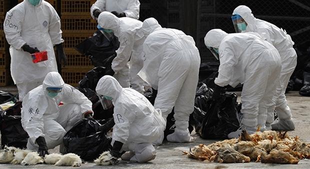 غرامت طیور معدوم شده بر اثر آنفلوآنزای مرغی پرداخت می شود/روستاهای حاشیه تالاب در خطر جدی