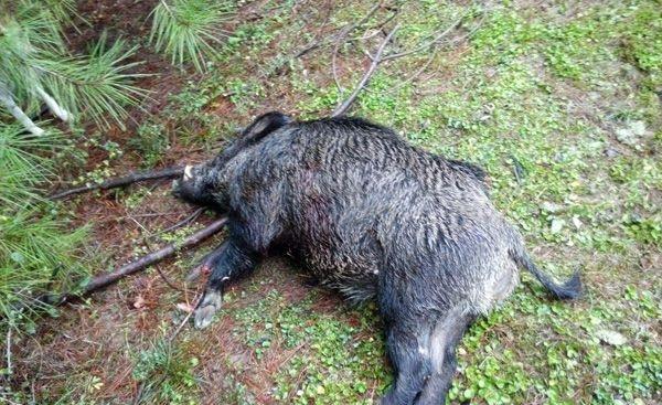 مرگ رازآلود 20 گراز در رضوانشهر/محیط زیست به دنبال دلیل ماجرا
