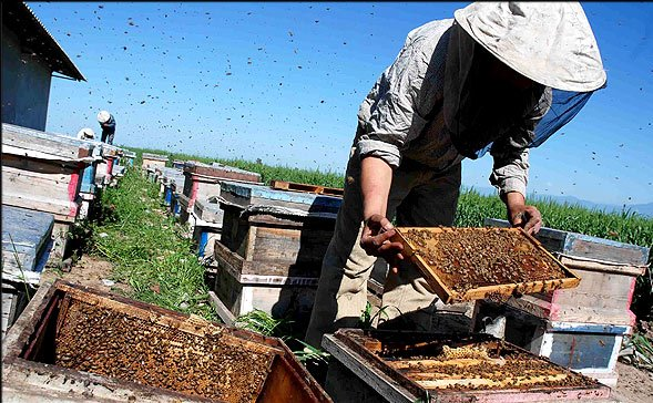 پیش بینی افزایش 10 درصدی تولید عسل در گیلان/6 درصد عسل کشور در گیلان تولید می شود