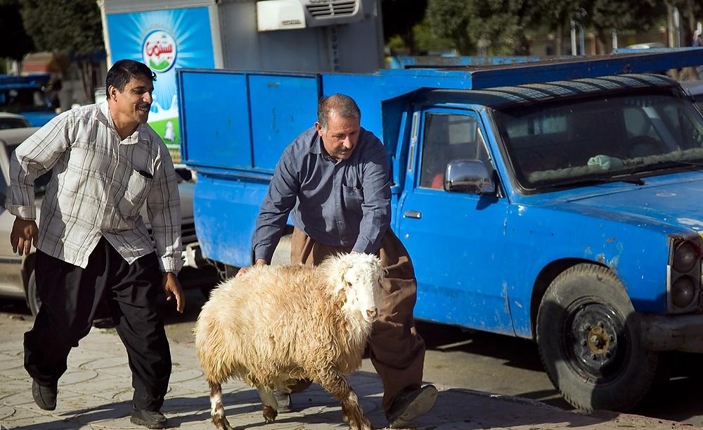 شهروندان رشتی از کجا گوسفند تهیه کنند؟