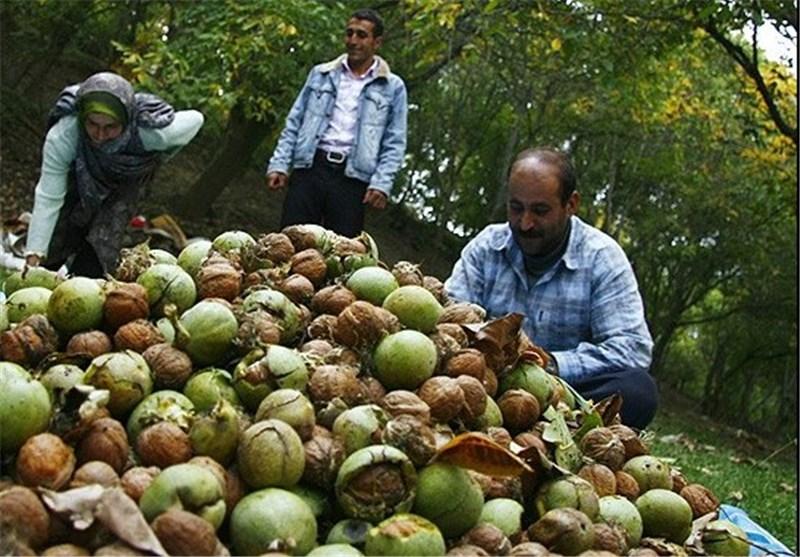 برداشت بیش ۳ میلیارد ریال گردو از باغات استان گیلان