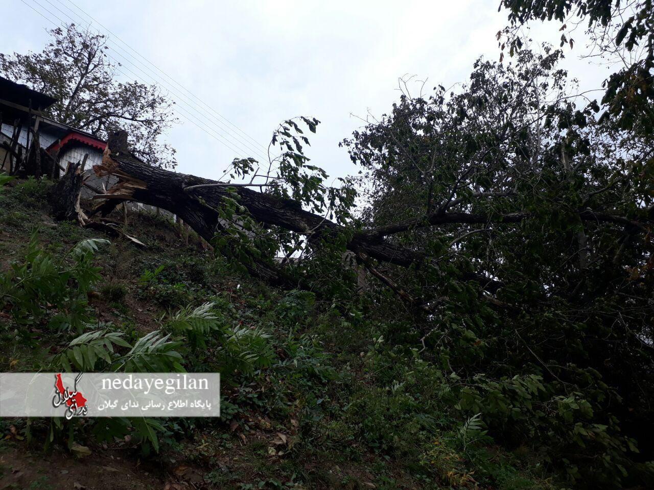 سقوط درخت 40 دام را در رضوانشهر تلف کرد+عکس