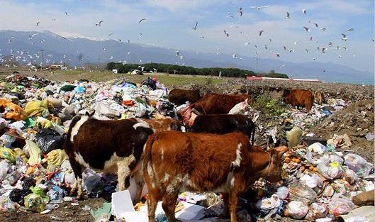 ورود احشام به جایگاه دفن زباله آستانه اشرفیه/شهرداری نسبت به تکمیل حصارکشی اقدام کند