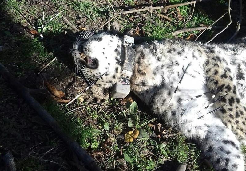 مرگ پلنگ رودسر با حمله یک حیوان وحشی