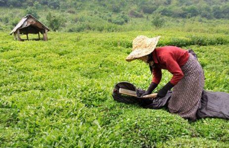برداشت چای از باغات کشور یک هفته به تعویق افتاد