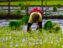 برنج کشاورزی نشای برنج