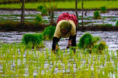نباید آب را برای کشت برنج به گیلان منتقل کنیم!/گیلان باید از آب های جاری خود استفاده کند