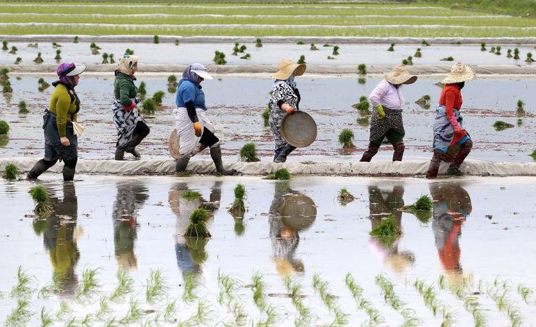 نشاء برنج در نیمی از مزارع گیلان/هاشمی همچنان محبوب ترین رقم  برای کاشت
