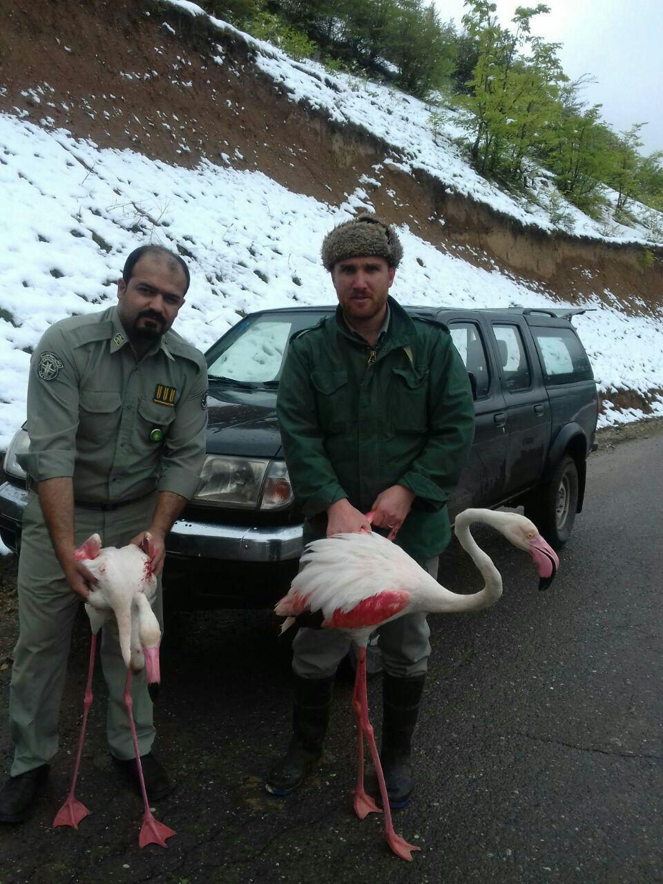 نجات سه قطعه فلامینگو توسط دوستداران حیات وحش در رودسر