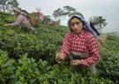 ایران بزرگترین وارد کنند چای و برج هندوستان است!/تجار هندی نگران تحریم صادرات میلیاردی به ایران هستند