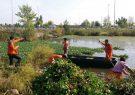 جمع آوری سریع سنبل آبی در سطح منابع آبی آستارا