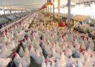 قیمت مرغ در گیلان تا هفته آینده کاهش مییابد
