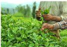 صادرات بیش از ۱۲هزار تن چای خشک ایرانی درسالجاری