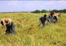 طرح بسته بندی برنج با برند گیلان در مراحل نهایی است