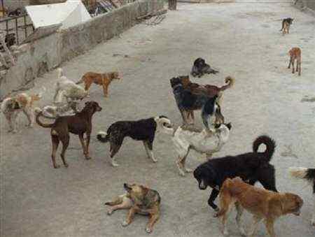 سگ های زخمی با تزریق داروی مجاز و به صورت تدریجی کشته شدند/سگ های ولگرد دو نفر را راهی بیمارستان کرده بودند