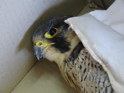 محکومیت شکارچی یک بهله شاهین در رودبار/قاچاق شاهین ها به کشورهای عربی
