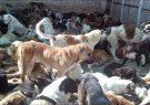 سگ های بلاصاحب رشت بدون آب و غذا رها شده بودند/سگ ها بواسطه نبود غذا لاشه سگ های دیگر را تغذیه می کردند