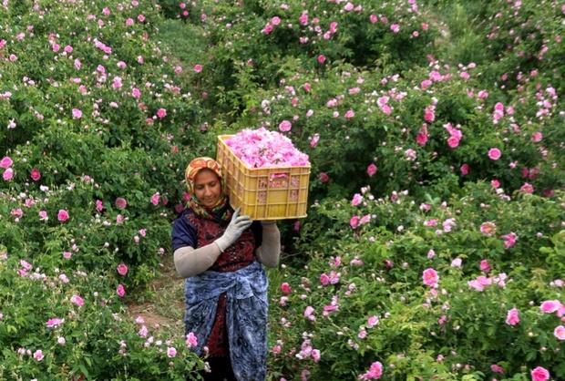 برداشت 2/4 میلیارد ریال گل محمدی از باغات گیلان