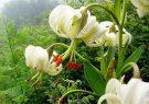 رویش گل نادر سوسن چلچراغ در محوطه باستانی ماسوله/کشف سوسن چلچراغ به ثبت جهانی ماسوله کمک می کند