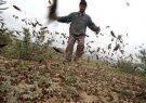 حمله ملخ به بیش از ۱۰ هزار هکتار از اراضی گیلان