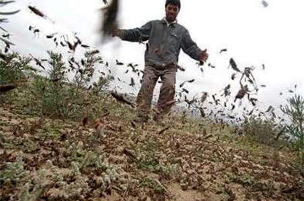 هجوم ملخ به 100 هکتار از اراضی شهرستان رودسر