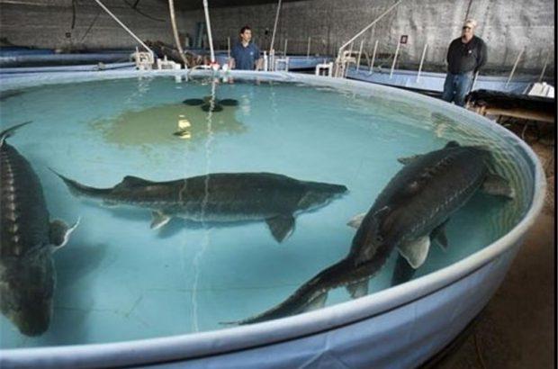 امکان پرورش ماهیان خاویاری در فضای محدود خانگی/اعتبار  ۱۰ میلیارد تومانی برای حمایت از پرورش دهندگان ماهیان خاویاری