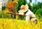 اقتصادی نبودن و عدم صرفه دلیل فروش زمین های کشاورزی است/تنها در ۲۴ هزار هکتار از مزارع گیلان برنج پر محصول کاشته شده است