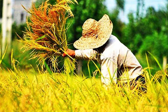 دلالان برنج خواستار تخصیص ارز دولتی برای واردات شدند!