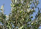 آغاز برداشت زیتون از ۸ هزار و ۳۳۳ هکتار از باغات رودبار