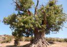 ثبت درخت هزار ساله کوف نم دار  گیلان در فهرست میراث طبیعی