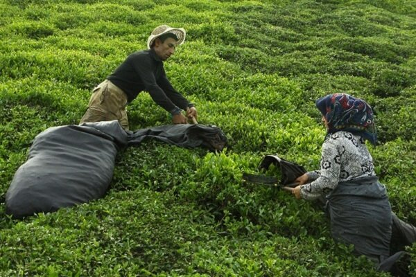 خریداری ۱۰۴ هزار تن برگ سبز چای/پرداخت ۲۱۳ میلیارد از مطالبات