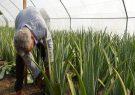 ۱۴۸۸ تن محصول آلوئهورا از زمین های کشاورزی گیلان