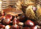 برداشت ۳۰ تن میوه شاه بلوط از جنگلهای گیلان