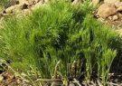 حذف ترکیبات نفتی از خاک با گیاه بومی