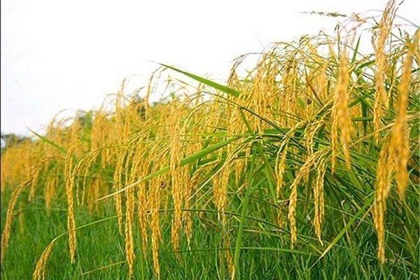 برداشت ۸۵ درصد از راتون پرورش داده شده در گیلان