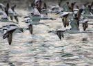 لغو مجوز شکار در صورت شیوع آنفلوآنزای پرندگان