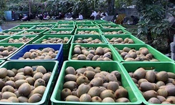 آغاز صادرات کیوی گیلان با ۹۷ کامیون بار