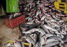 کشف ۱۱ تن ماهی غیر بهداشتی در آستارا