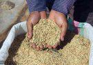 توزیع ۱۲۰ تن بذر گواهی شده هاشمی در شرق گیلان