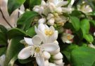 آغاز برداشت شکوفه بهارنارنج در ۱۱ هکتار از باغ مرکبات گیلان