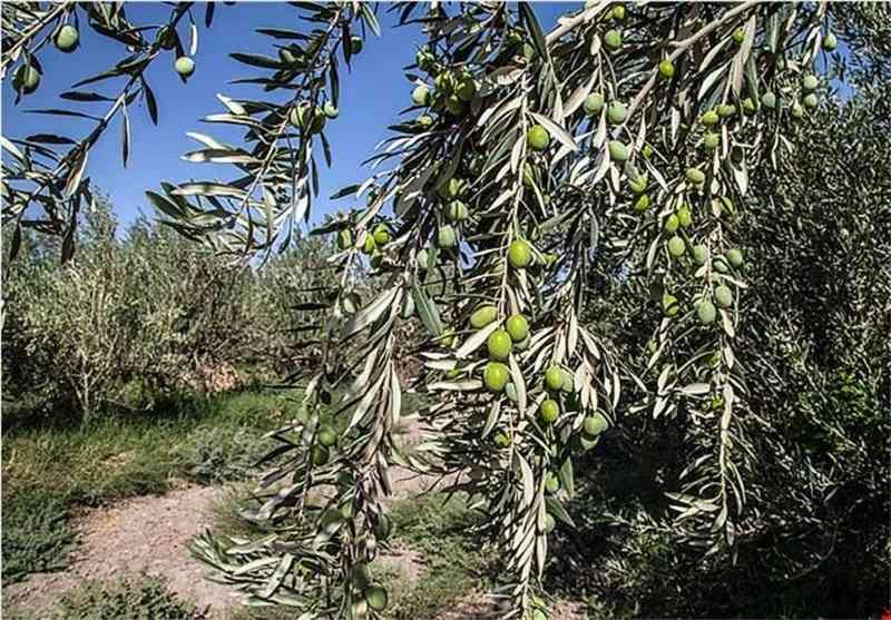 برداشت زیتون در گیلان ۳۰ درصد کاهش یافت/زنجان و قزوین در جایگاه اول و دوم تولید زیتون کشور