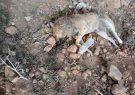 قرار بود ماموران شهرداری گوراب زرمیخ سگ ها با خوراندن دارو بکشند!