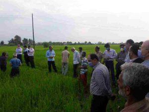 فرماندار فومن در حال بازدید از مزارع خشک شده برنج در روستای خرم بیشه