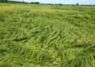 بارش باران به شالیزارهای گیلان خسارت های جدی وارد کرده است