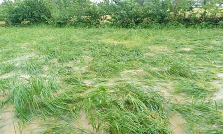 باران دست از سر کشاورزان گیلانی بر نمی دارد/رگبارهای تابستانه همچنان ادامه دارد