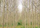 برداشت چوب در ۲۰ هکتار از اراضی صنوبر کاری شده گیلان/کمتر از ۱۰ درصد مساحت ایران را جنگل تشکیل می دهد