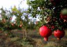 پیش بینی برداشت۳ هزار و ۸۴۰تن انار در گیلان