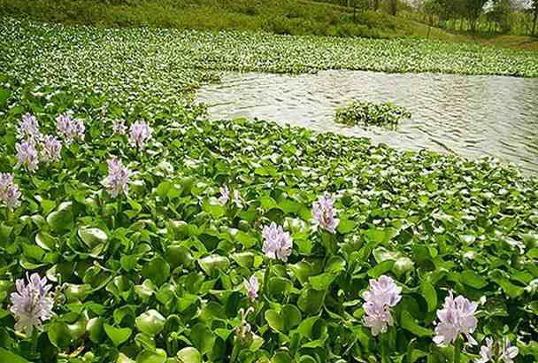 برای پاکسازی نقاط آلوده به گیاه مهاجم سنبل آبی عزم همگانی نیاز داریم