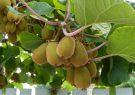 ۱۹۰ هزار تن کیوی از باغات گیلان برداشت می شود/۶۰ درصد کیوی گیلان صادر می شود
